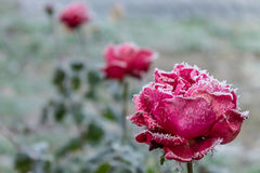 Rose rosse coperte di gelo Fotografie Stock