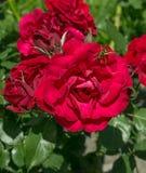 Rose rosse del giardino con una vespa Immagini Stock Libere da Diritti