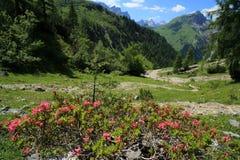 Rose rosse dell'alpe nelle montagne Immagine Stock