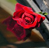 Rose rosse di stupore con la bella riflessione immagini stock libere da diritti