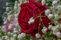 Rose rosse disposte sulla tavola fotografia stock