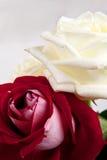 Rose rosse e bianche Immagini Stock Libere da Diritti