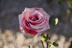 Rose rosse e bianche meravigliose Immagini Stock Libere da Diritti