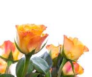 Rose rosse e gialle isolate su bianco Fotografia Stock