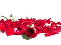Rose rosse e petali di rosa Fotografie Stock Libere da Diritti