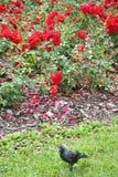 Rose rosse ed uccello nero Fotografia Stock Libera da Diritti