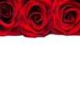 Rose rosse fresche Fotografie Stock