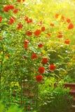 Rose rosse in giardino fotografie stock libere da diritti