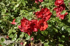 Rose rosse in giardino alla bella casa di campagna vicino a Leeds West Yorkshire che non è la fiducia nazionale Immagini Stock Libere da Diritti