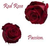 Rose rosse isolate royalty illustrazione gratis