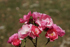 Rose rosse meravigliose Immagine Stock Libera da Diritti