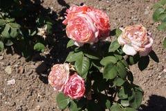 Rose rosse meravigliose Fotografie Stock Libere da Diritti