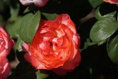 Rose rosse meravigliose Immagini Stock Libere da Diritti