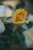 Rose rosse meravigliose Fotografia Stock