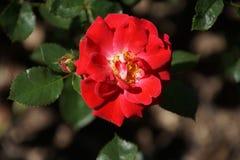 Rose rosse meravigliose Fotografia Stock Libera da Diritti