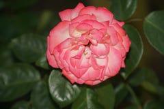 Rose rosse meravigliose Immagini Stock