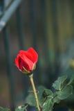 Rose rosse meravigliose Immagine Stock