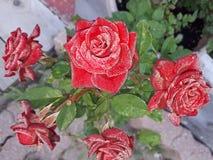 Rose rosse Morning& x27; gloria di s Immagini Stock Libere da Diritti