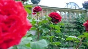 Rose rosse nel giardino dei fiori stock footage