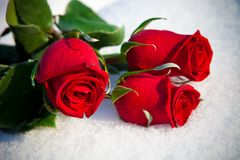 Rose rosse su neve. Fotografie Stock