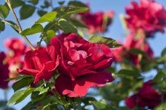 Rose rosse su un arbusto Fotografia Stock