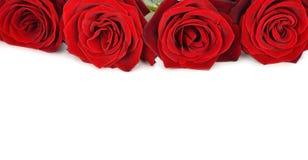 Rose rosse su un fondo bianco Fotografia Stock Libera da Diritti