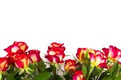 Rose rosse su un fondo bianco, con lo spazio della copia Fotografia Stock Libera da Diritti