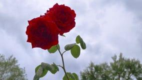 Rose rosse su un fondo delle nuvole grige archivi video