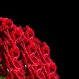 Rose rosse su un fondo nero Fotografia Stock