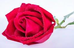 Rose rosse su una priorità bassa bianca Fotografia Stock Libera da Diritti