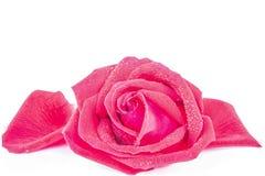 Rose rosse su una priorità bassa bianca Fotografia Stock