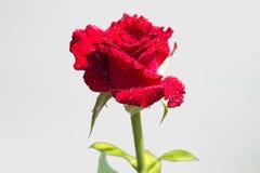 Rose rosse su una priorità bassa bianca Fotografie Stock Libere da Diritti