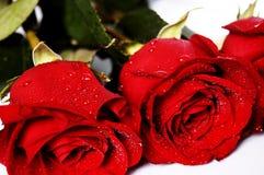 Rose rosse su una priorità bassa bianca Immagini Stock Libere da Diritti