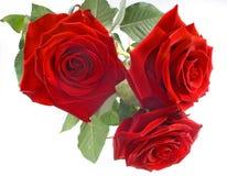 Rose rosse sui precedenti bianchi fotografia stock
