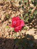 Rose stockbild
