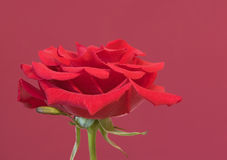 Rose rouge Image stock