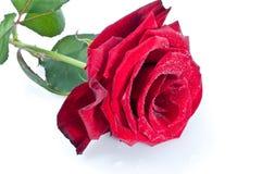 Rose rouge Photo stock