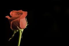 Rose rouge photo libre de droits