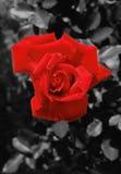 Rose - rouge Image libre de droits