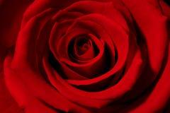 Rose rouge Image stock