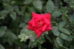 Rose rouge au jardin images libres de droits