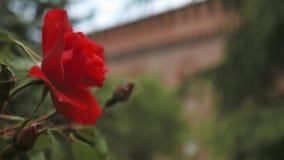 Rose rouge avec le château italien à l'arrière-plan, Pavie, picovolte, Italie, décalage de foyer banque de vidéos