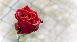 Rose rouge avec le plan rapproché de gouttelettes d'eau image stock