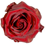 Rose rouge d'isolement photographie stock