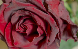 Rose rouge d'isolement Photos stock