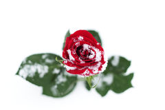 Rose rouge dans la neige Photographie stock libre de droits