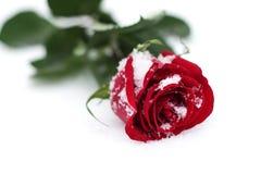 Rose rouge dans la neige Photographie stock