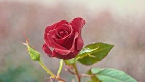 Rose rouge dans le mouvement lent banque de vidéos