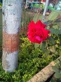 Rose rouge dans un jardin images libres de droits
