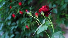 Rose rouge dans un jardin banque de vidéos